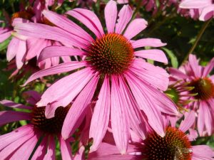 Echinacea purpurea. Photo by Tony Garn