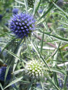 Eryngium amethystinum var. euspinosa. Photo by Tony Garn