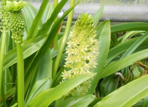 Eucomis comosa. Photo by Tony Garn