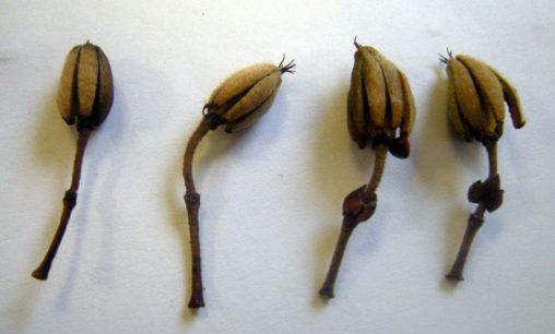 Eucryphia moorei - seed heads