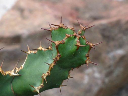 Euphorbia virosa