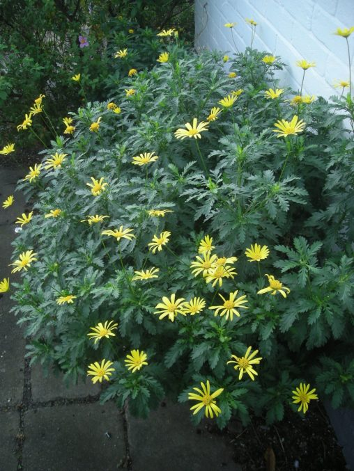 Euryops chrysanthemoides. Photo by Tony Garn