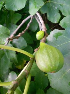 Fig mature and embryo fruits. Photo by Tony Garn
