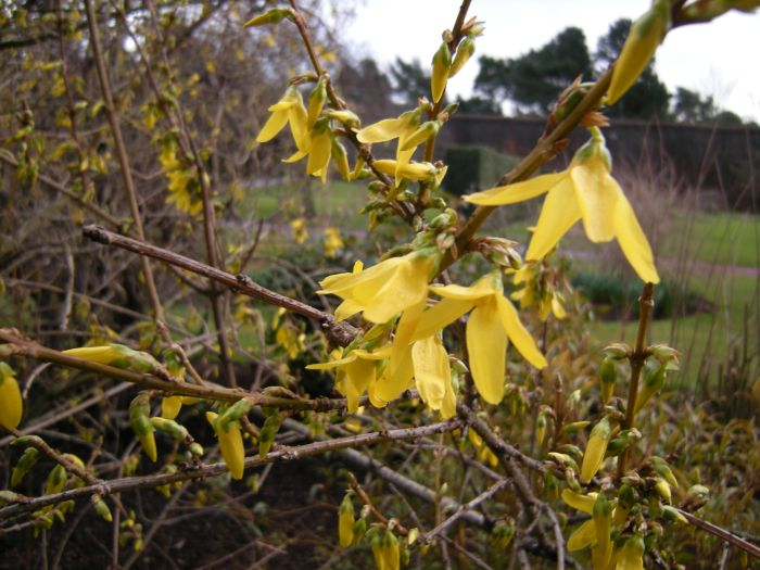 Forsythia botanics stories - Forsythia x intermedia ...
