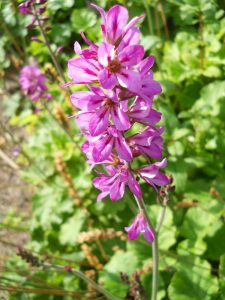 Francoa appendiculata. Photo by Tony Garn