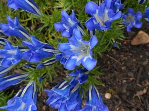 Gentiana 'Braemar' . Photo by Tony Garn
