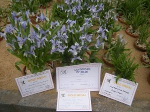 Gold medals and a certificate of merit for Iris willmottiana