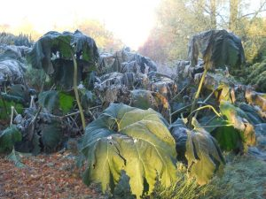 Gunnera manicata. Photo by Tony Garn