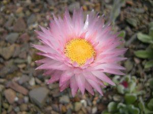 Helichrysum ecklonis
