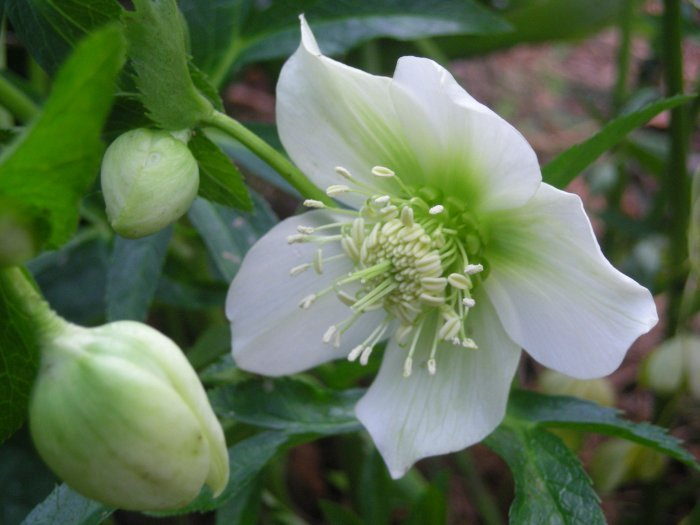 Helleborus botanics stories for Helleborus orientalis