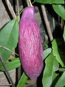 Holboellia grandiflora
