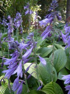 Hosta aff  rhodeifolia