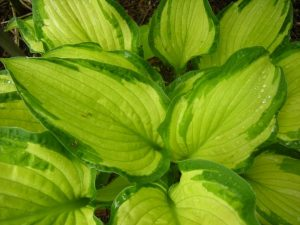 Hosta fortunei var  albopicta. Photo by Tony Garn