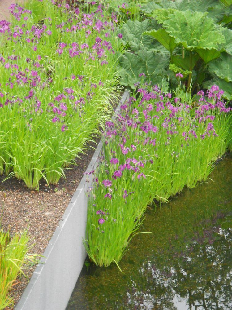 The Japanese Water Iris Botanics Stories