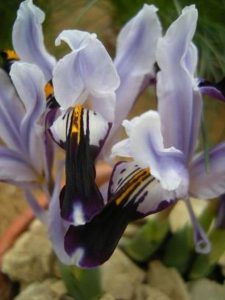 Iris rosenbachiana. Photo by Tony Garn