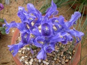 Iris stenophylla ssp  allisonii. Photo by Tony Garn