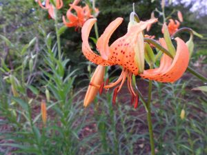 Lilium leichtlinii var. maximowiczii. Photo by Tony Garn