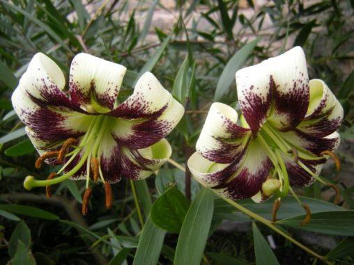 Lillium primulinum var ochraceum