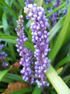 Liriope platyphylla. Photo by Tony Garn
