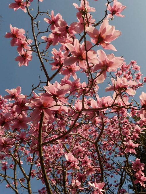 Magnolia campbellii 'Charles Raffill'. Photo by Tony Garn