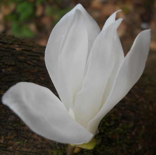 Magnolia salicifolia. Photo by Tony Garn