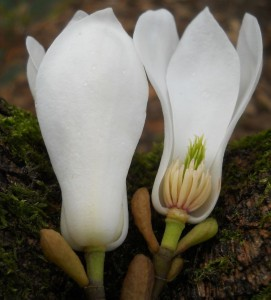 Magnolia salicifolia - section showing floral parts. Photo by Tony Garn