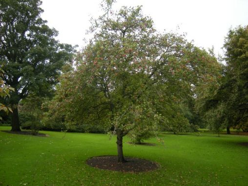 Malus pumila 'Dartmouth'