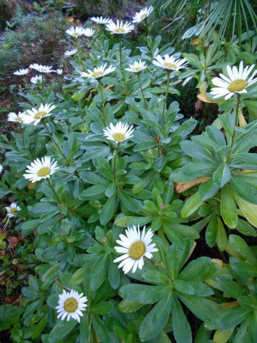 Nipponanthemum nipponicum. Photo by Tony Garn