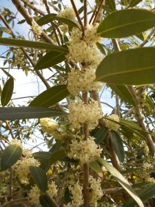 Osmanthus decorus. Photo by Tony Garn
