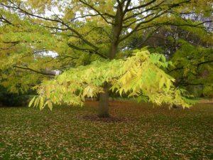 Phellodendron lavalleii