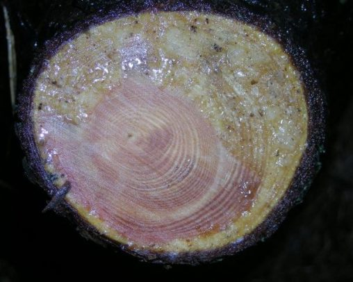 Cross section of Pinus sylvestris 'Aurea'