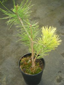 A young graft of Pinus sylvestris in the nursery