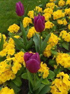 Polyanthus 'Crescendo Yellow' Tulip 'Purple Prince'. Photo by Tony Garn
