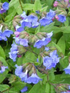 Pulmonaria angustifolia 'Munstead Blue'. Photo by Tony Garn