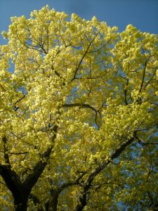 Quercus rubra - young foliage