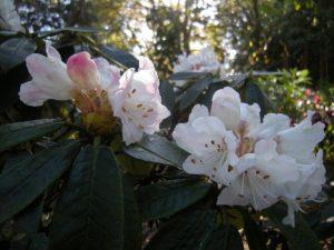 Rhododendron crinigerum var. crinigerum