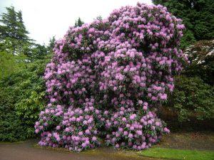 Rhododendron aff  arboreum hybrid