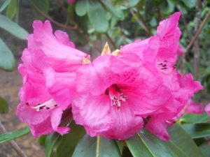 Rhododendron aff. faucium. Photo by Tony Garn