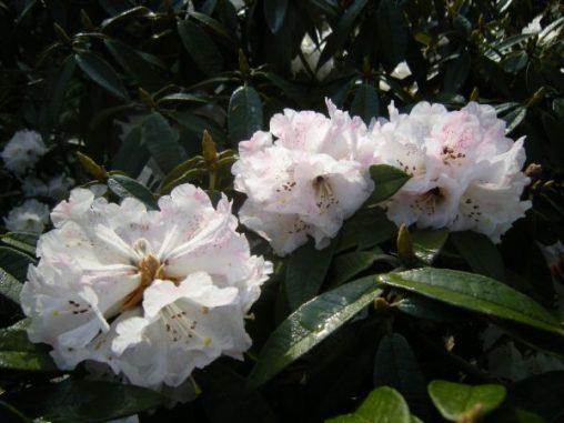 Rhododendron arboreum ssp cinnamomium var roseum