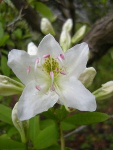 Rhododendron augustinii ssp  hardyi