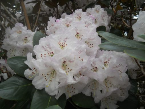Rhododendron campanulatum ssp campanulatum. Photo by Tony Garn