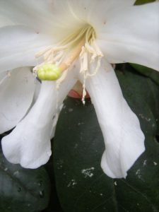 Rhododendron konori