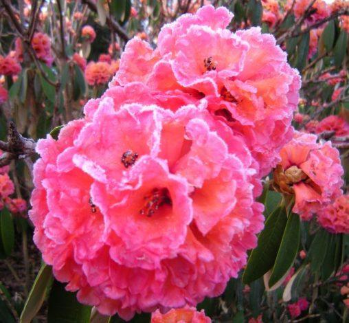 Rhododendron lanigerum - frozen blooms before sun