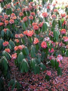 Rhododendron lanigerum - petals turned to mush and dropped