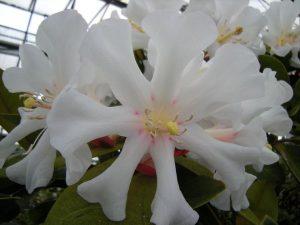 Rhododendron leucogigas 'Hunstein's Secret' x konori