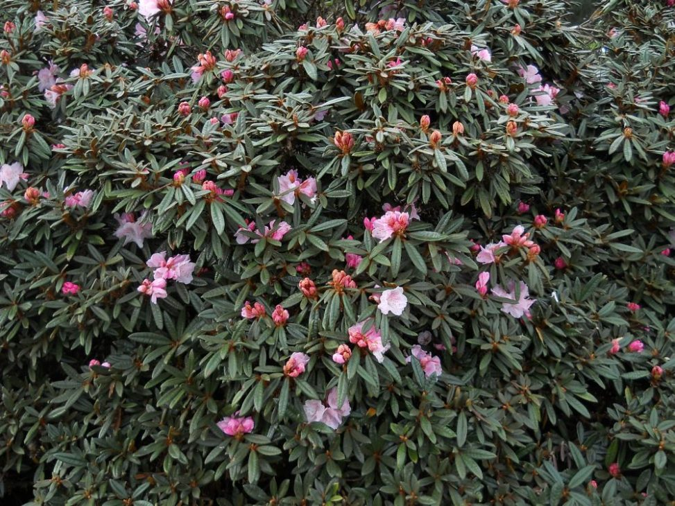 Rhododendron recurvoides. Photo by Tony Garn