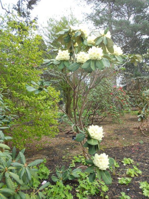 Rhododendron sinofalconeri. Photo by Tony Garn