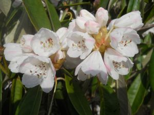 Rhododendron uvarifolium var griseum. Photo by Tony Garn