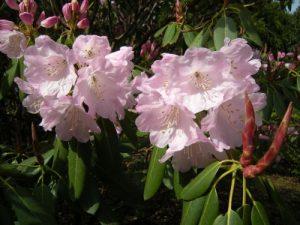 Rhorodendron fortunei ssp  fortunei