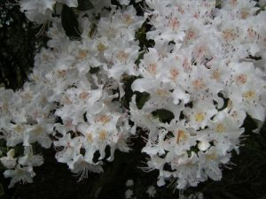Rhorodendron rigidum ssp  triflora
